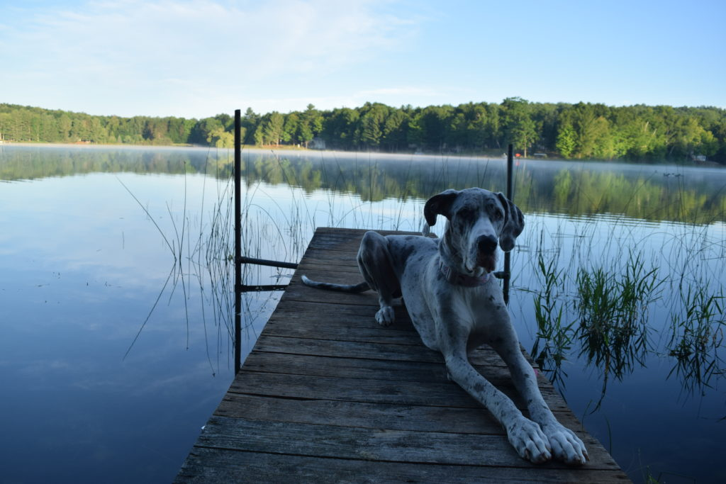 Great Dane on dock